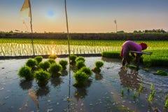 Reis ist das bedeutende Lebensmittel in Thailand Lizenzfreie Stockfotografie