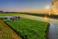 Reis ist das bedeutende Lebensmittel in Thailand Landwirt ` bezüglich der Leute, die VE bearbeiten Lizenzfreie Stockbilder