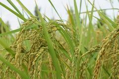 Reis in Kambodscha Stockbilder