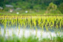 Reis keimt Nahaufnahme in der Weichzeichnung lizenzfreie stockbilder