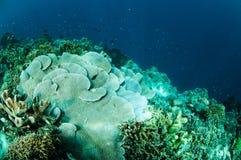 Reis korallenrotes Montipora-capitata in Gorontalo, Indonesien-Unterwasserfoto Lizenzfreie Stockfotografie