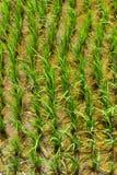 Reis-Landschaft überschwemmt Stockfotografie