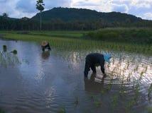 REIS-LANDWIRTE IN SONGKHLA-PROVINZ, THAILAND Lizenzfreies Stockfoto