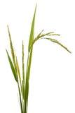 Reis lokalisiert auf Weiß Stockfotografie