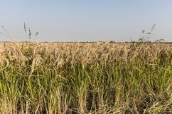 Reis, Lomellina (Nord-Italien) Lizenzfreie Stockbilder