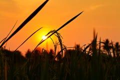 Reis mit Sonnenuntergang Stockfotos