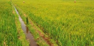 Reis-Paddy Stockbild