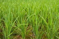 Reis-Paddy stockbilder