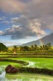 Reis-Paddy Stockfotografie