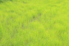 Reis-Paddy Lizenzfreies Stockbild