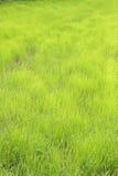 Reis-Paddy Lizenzfreie Stockfotos