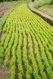 Reis-Paddy in Bali lizenzfreie stockbilder