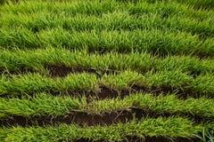 Reis-Paddy in Bali lizenzfreies stockbild