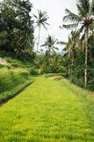 Reis-Paddy in Bali lizenzfreies stockfoto