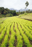 Reis-Paddy in Bali Stockbilder