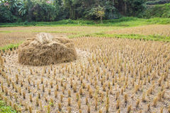 Reis Paddy Field Stockbilder