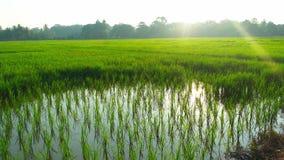 Reis Paddy Field Lizenzfreies Stockfoto