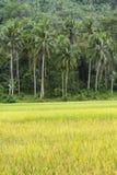 Reis Paddy At Harvest Lizenzfreies Stockbild