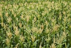 Reis, Paddy, Korn Stockbilder