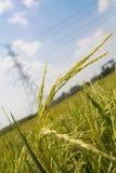 Reis-Paddy und Strombeitrag Stockfotos