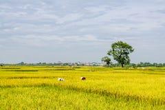 Reis Paddy Worker Stockbild