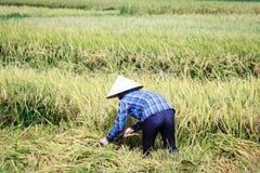 Reis Paddy Worker Lizenzfreie Stockbilder