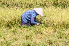 Reis Paddy Worker Lizenzfreies Stockbild
