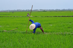 Reis Paddy Workers Stockbild