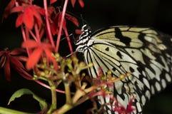 Reis-Papier-Schmetterling Lizenzfreies Stockfoto