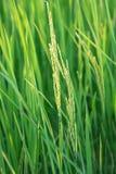 Reis-Pflanzen Stockbild