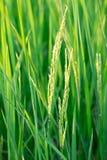 Reis-Pflanzen Stockbilder