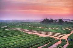 Reis-Reisfelder in der Landseite Kambodscha Stockbilder