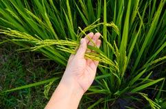Reis-Stiel an Hand Lizenzfreie Stockbilder