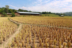 Reis Stubble lizenzfreies stockfoto