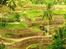 Reis-Terrasse in Bali Stockbild