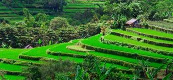 Reis-Terrasse in Bali Lizenzfreies Stockfoto