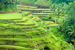 Reis-Terrassefeld, Ubud, Bali, Indonesien. Stockfoto