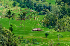 Reis-Terrassen in Bali lizenzfreies stockfoto