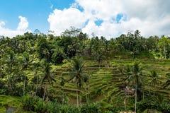 Reis-Terrassen in Bali - vertikale Landwirtschaft - in der Farbe stockfotos