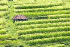 Reis-Terrassenfeld Balis Jatiluwih Stockfotografie