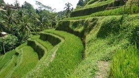Reis terrasses Bali Stockbild