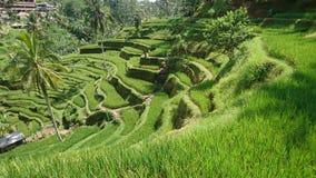 Reis terrasses Bali Lizenzfreie Stockbilder