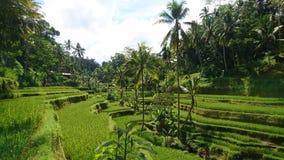 Reis terrasses Bali Lizenzfreies Stockfoto
