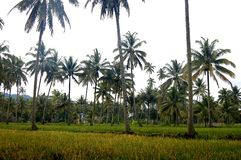 Reis- und Kokosnussbaumfelder stockbilder