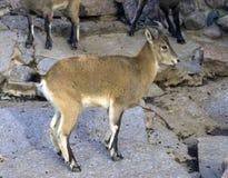 Reis van de de berggeit van Dagestan een herkauwerszoogdier van massieve bovidschersti met gespleten hoeven royalty-vrije stock foto