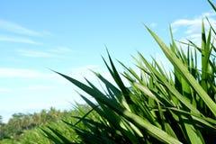 Reis verlässt mit Hintergrund des blauen Himmels in der Landschaft Stockbild