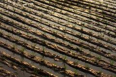 Reis wässerte Furchen Lizenzfreie Stockfotos