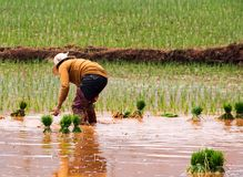 Reisanbau nahe Kunming, Yunnan Stockbilder