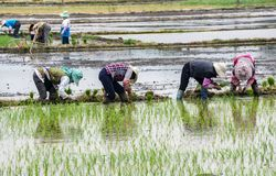 Reisanbau nahe Xizhou, Yunnan Stockfotos