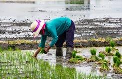 Reisanbau nahe Xizhou, Yunnan Lizenzfreie Stockfotos